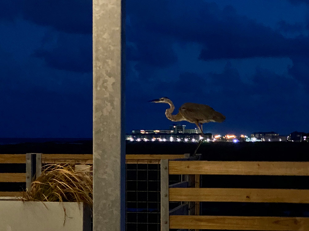 Lively Beach Surfrider rooftop, heron